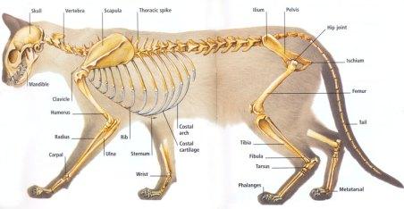 feline-anatomy-skeleton