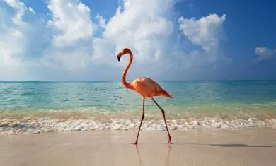 flamingo-holbox