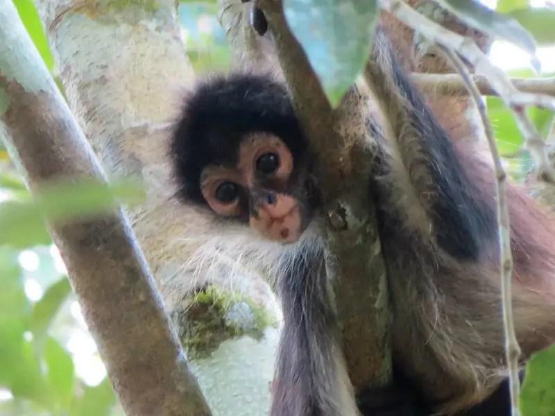 Baby monkey in tree at punta laguna