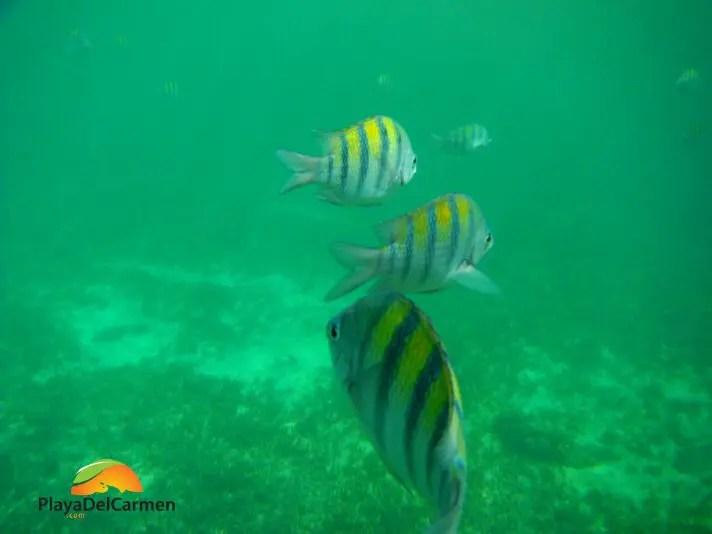 fish swimming while snorkeling in playa del carmen