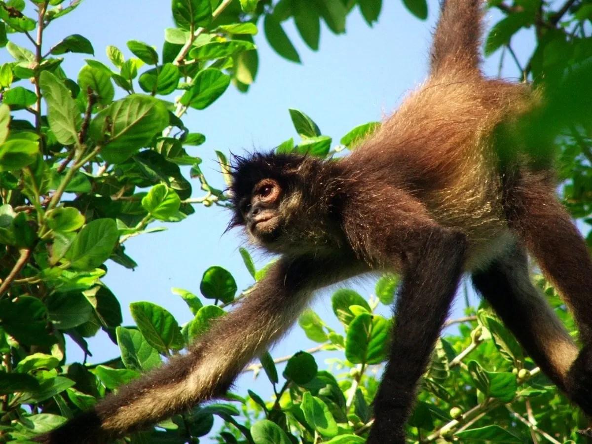 Punta Laguna Monkey Reserve