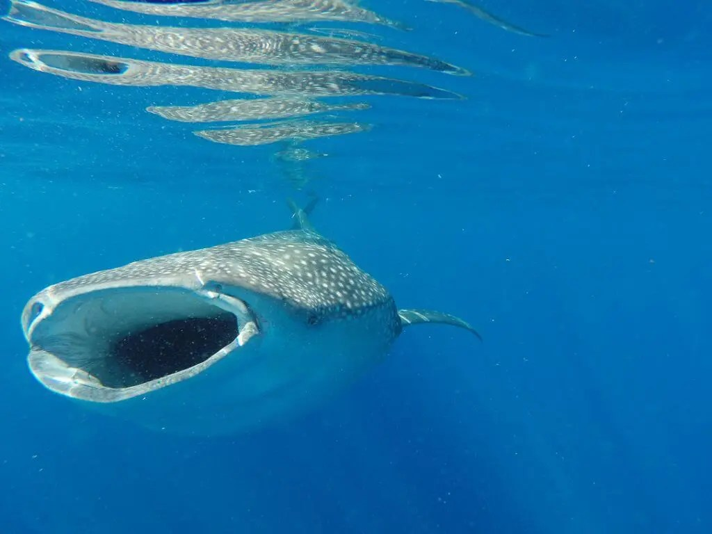 swimming with whale sharks tour mexico cancun