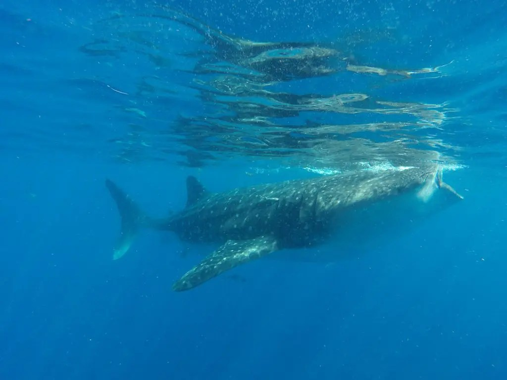 whale shark tours mexico