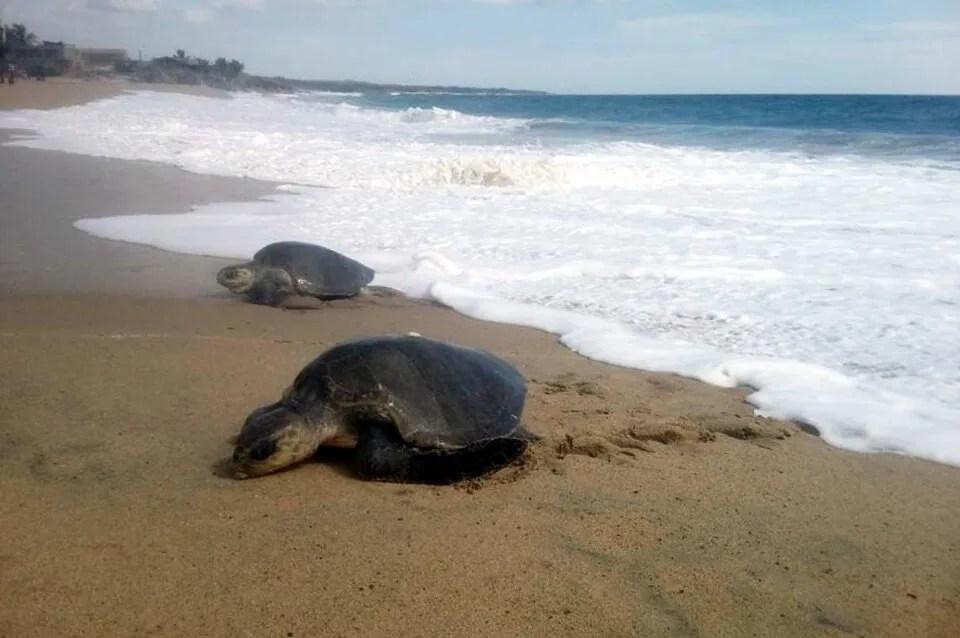 Sea Turtles at the Tortugario de Cuyutlán