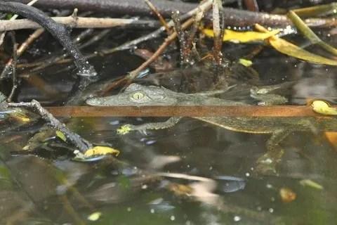 baby crocodile at Boca de Tomates