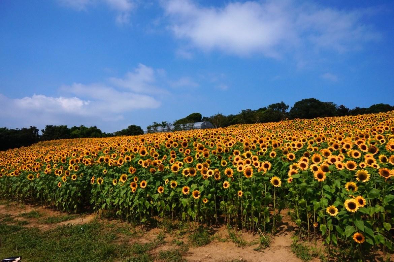 8万本の絶景ひまわり畑