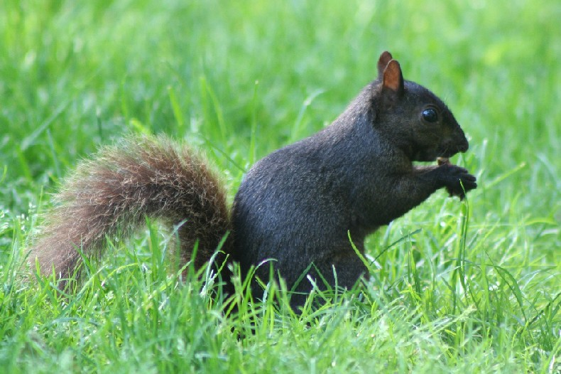 A black squirrel from the side