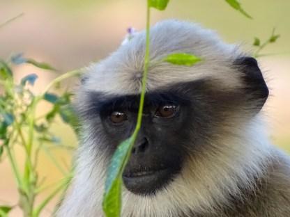 Un singe a hampi dans le karnataka en inde