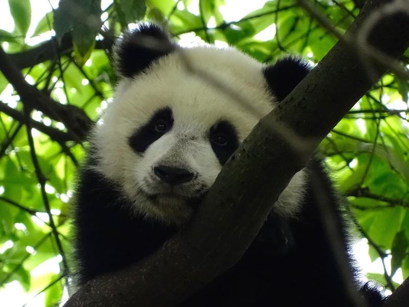 Rencontres Panda meme