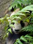 ©playingtheworld-chine-panda-bifengxia-voyage-16
