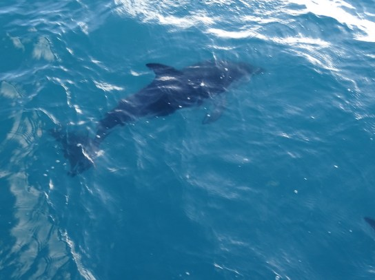©playingtheworld-nouvelle-zelande-kaikoura-dauphin-voyage-8