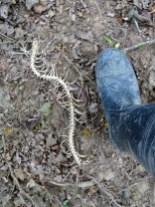 Ceci est un squelette de bébé anaconda.