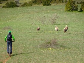 Rencontre avec les vautours du Larzac