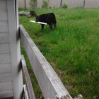 86mekzs7Wsume Nq4U8pwxQ9YPERerhEccqj6dgpfX4 Damn neighbours cows are tearing the siding off our shed again!