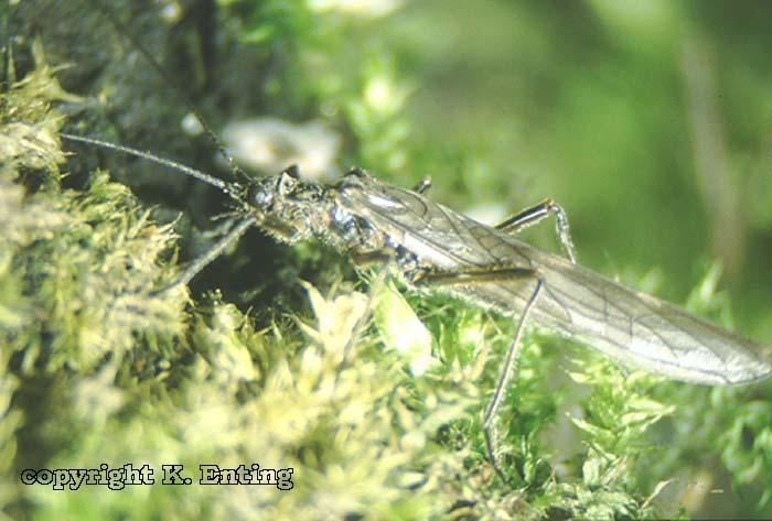 Taeniopteryx schoenemundi female