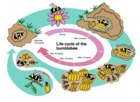 csm_bumblebee_cylus_fdbe9be1dd