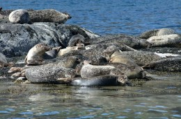 """Seals as seen from """"Calum's Seal & Dolphin Trips"""""""