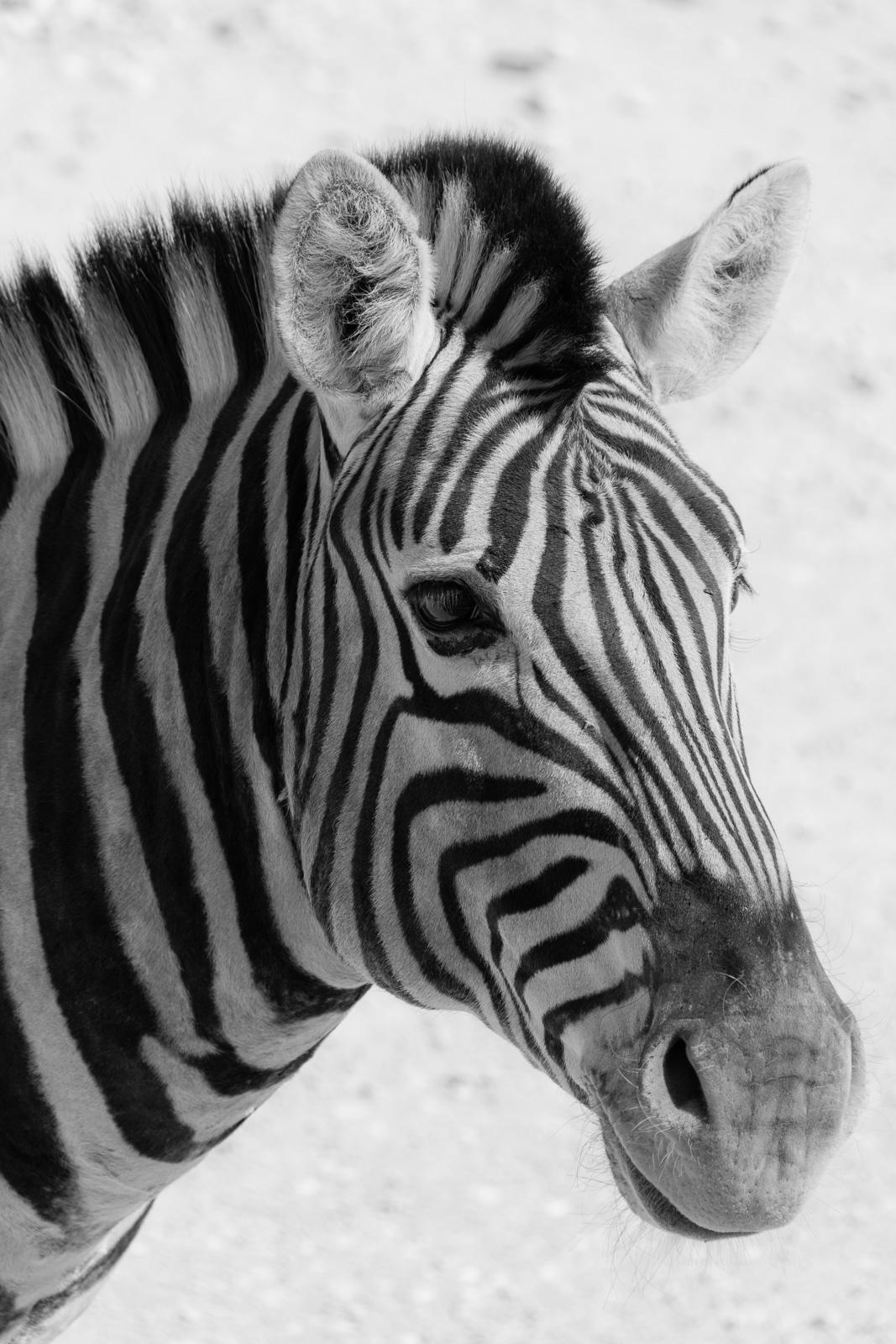 Africa, Namibia, Etosha, zebra