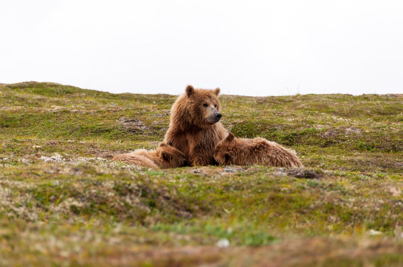 Alaska, bear, grizzly