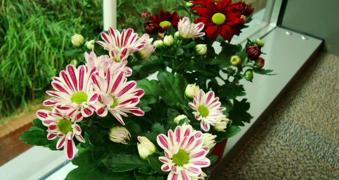 Chrysanthemum-676x360