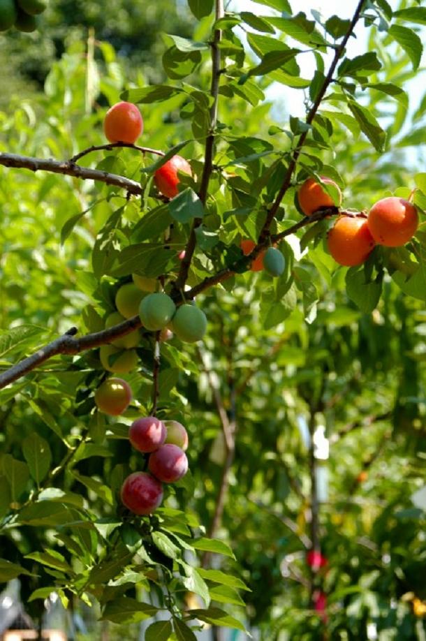 arbre-40-fruits-3