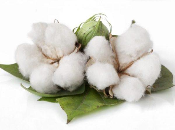 Le coton organique, un choix respectueux de l'agriculture et de  l'environnement ⋆
