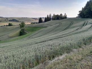 Getreidefeld im Biirbistel