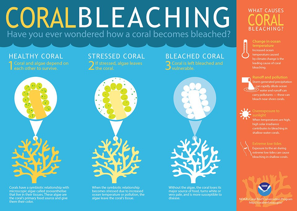 Coral Bleaching-Coral Reef Bleaching ecological damage