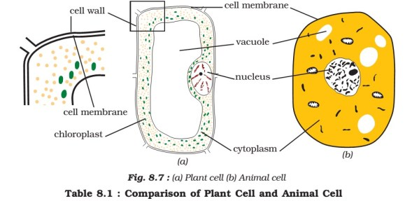 Where is chlorophyll located in plant cells?