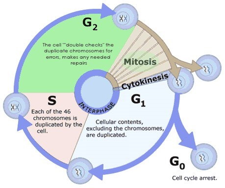 the process of mitosis cell replication essay Discuss the process of cell division in animals mitosis and cytokinesis, and of the other phases of the cell cycle ap biology essay questions page 8.