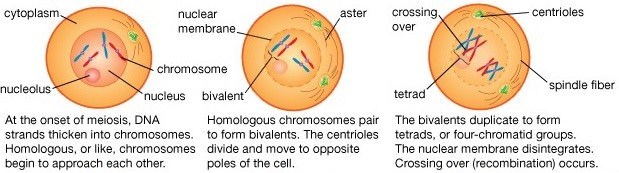meiotic cell division Reproductive system & development: practice questions #1 the process of meiotic cell division begins within a different antibodies and mitotic cell division.