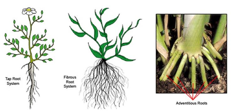 Root Systems-Tap-Fibrous-adventitious roots