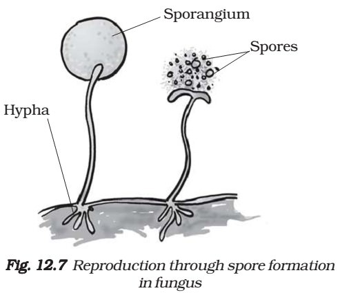 sexual and asexual reproduction in plants diagram of parts of toilet diagram of spores #5