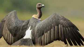 Diclofenac – Indian Vulture Crisis