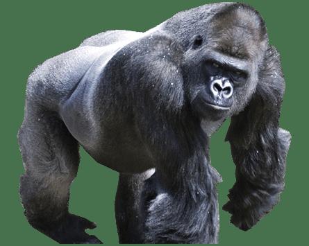 Gorilla PNG Transparent Images PNG All