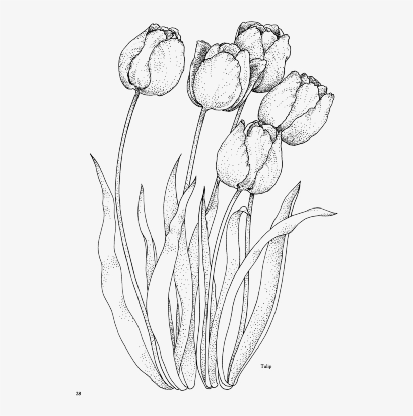 Flower195 Tulip Coloring Pages For Adults Free Transparent Png Download Pngkey