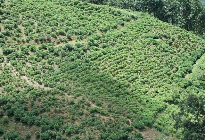 पर्यटकीय गाउँ भुजुङको चिया विदेशसम्म