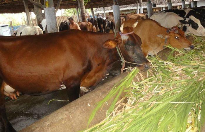 गाईपालनबाट मासिक दुई लाख आम्दानी