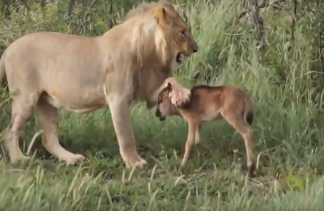 मानवभित्र मानवता देखिनुको सट्टा जनावरमा देखिन्छ हेर्नुहोस सिंहले गाईको बाच्छो बचाएको भिडियो