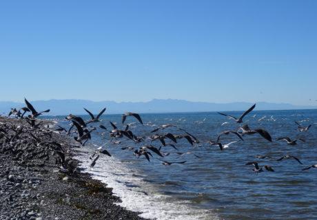 Gulls on Whidbey Island