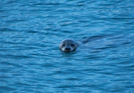 A Harbor Seal in the Puget Sound