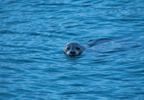 A Leopard Seal in the Puget Sound