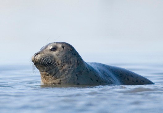 Harbor Seal in the Puget Sound.