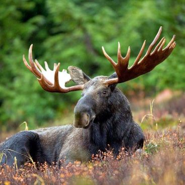 A bull moose in Glacier National Park. Photo by Ryan Hagerty.