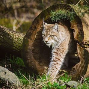 The seldom-seen Canada lynx is one many animals that thrives in the Pasayten Wilderness, home to the largest population in the Lower 48.