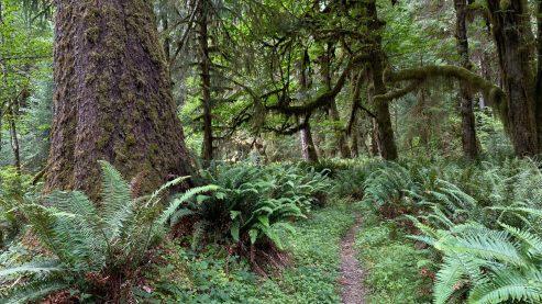 Bogachiel Trail 2