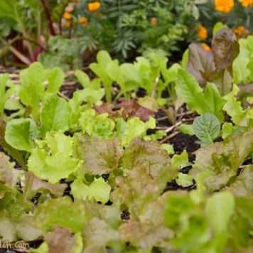 leaf lettuce salad bed