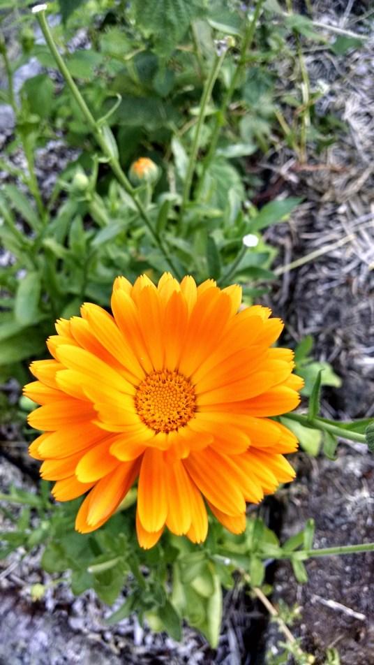 PNW Medicinal Tea Garden - 14 medicinal plants for herbal tea in the PNW garden - PNWfromScratch_14