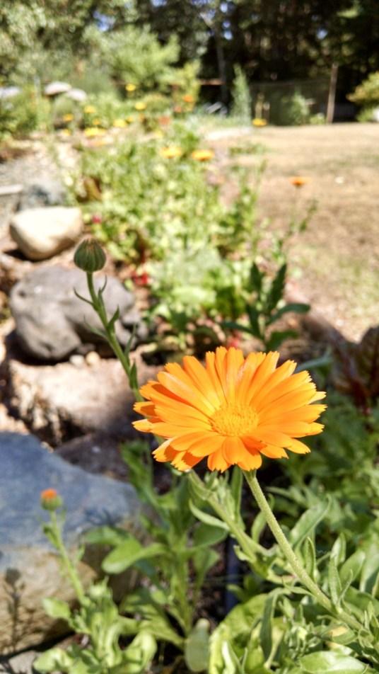 PNW Medicinal Tea Garden - 14 medicinal plants for herbal tea in the PNW garden - PNWfromScratch_7