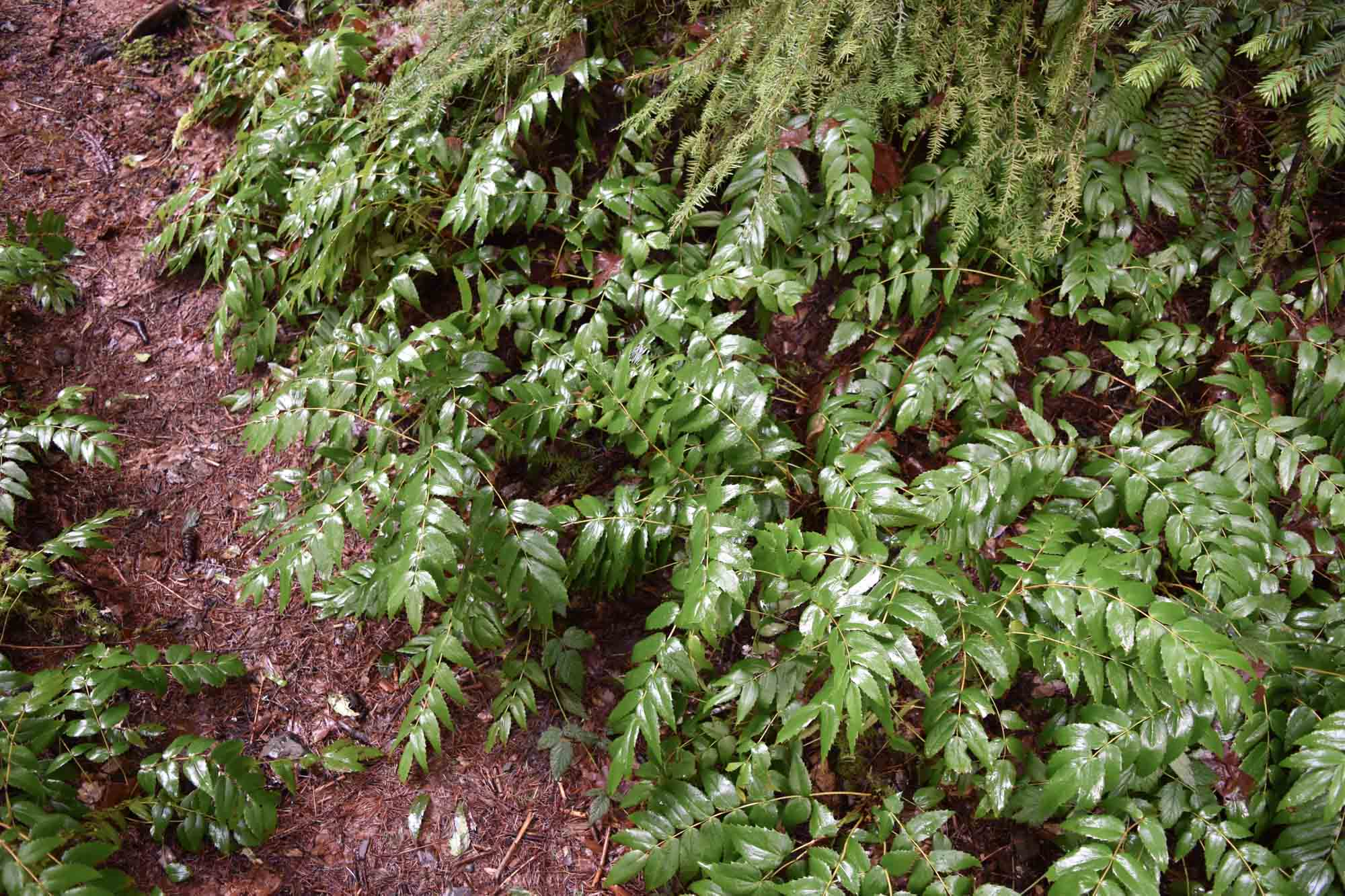Wildcrafting- Collecting Wild Food and Medicine - PNW from Scratch_4